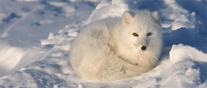 Arctic fox at the North Pole