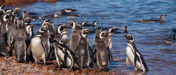 Penguins in the sea in front of Argentina