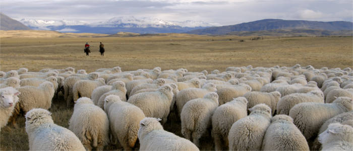 Flock of sheep and gauchos in Patagonia