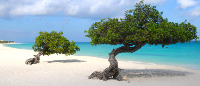 Aruba's tree species - Divi-divi