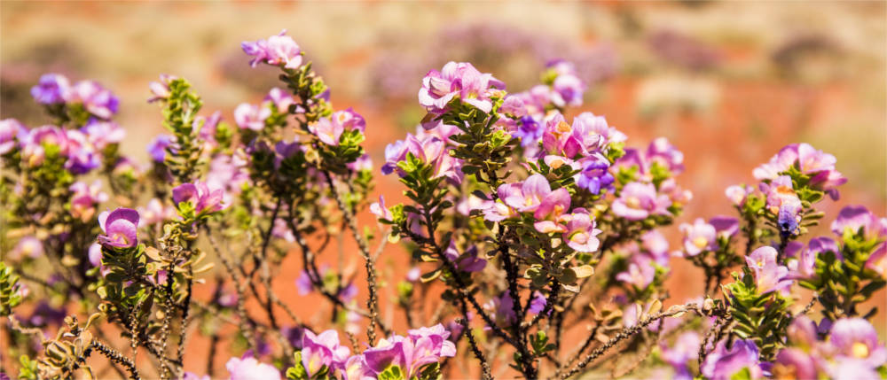 Flora in the Golden Outback