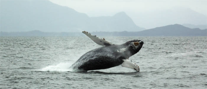 Whale in front of Vancouver Island - Canada
