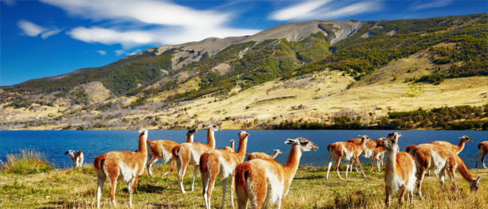 Guanacos in Torres del Paine National Park in Chile