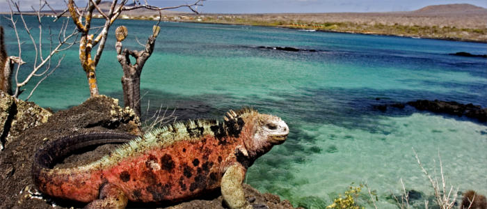 Marine iguanas on the Galápagos Islands
