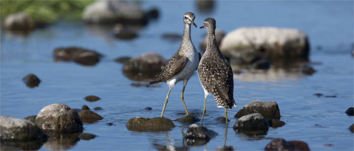 Wood sandpipers in the North Aegean