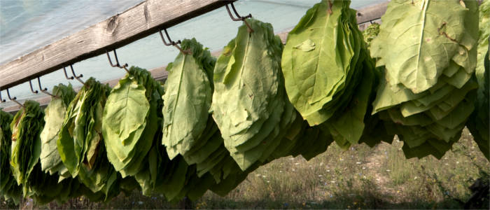 Tobacco plantation in Xanthi