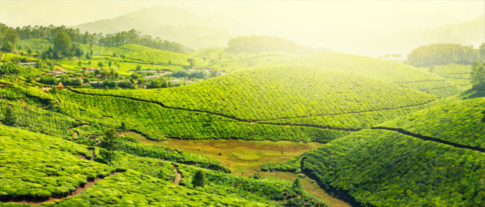 Tea cultivation in Kerala in India