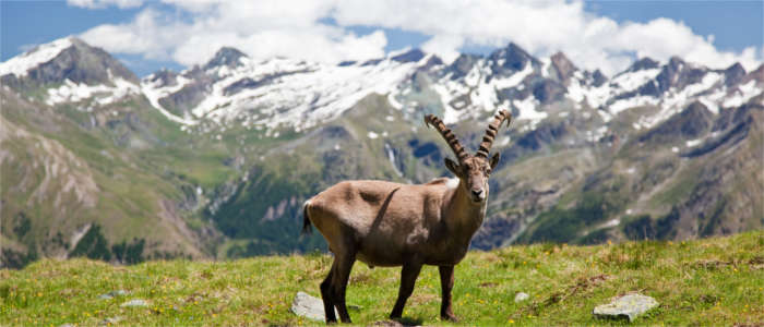 Fauna in the Gran Paradiso National Park