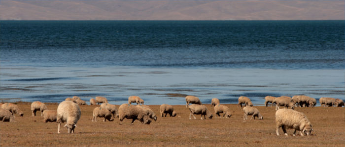 Sheep browsing in Kyrgyzstan