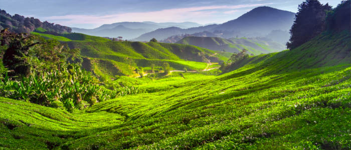 Tea plantation in the Cameron Highlands