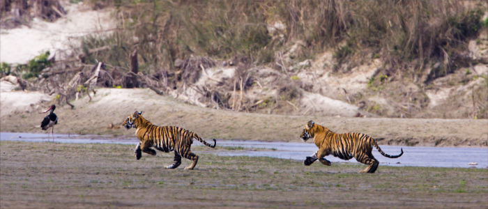Wild tigers in Nepal