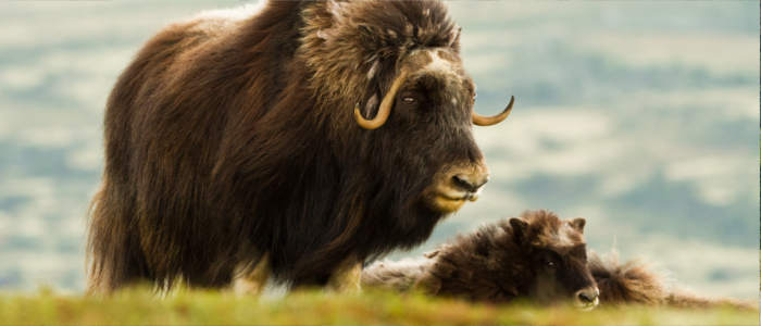 Norwegian musk ox