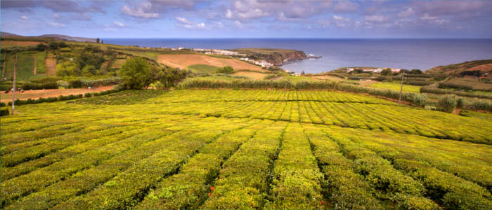 Europe's most western tea plantation - Azores