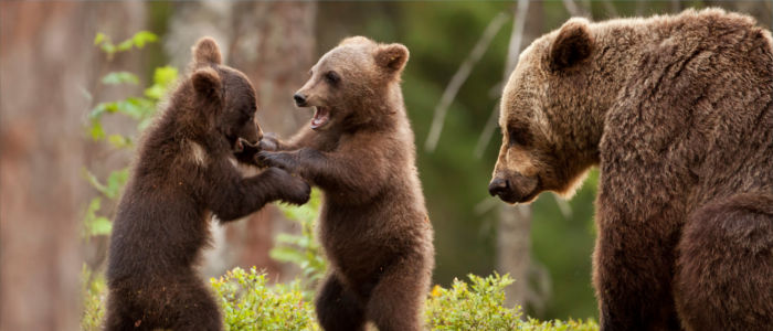 Brown bears playing in the Russian forest