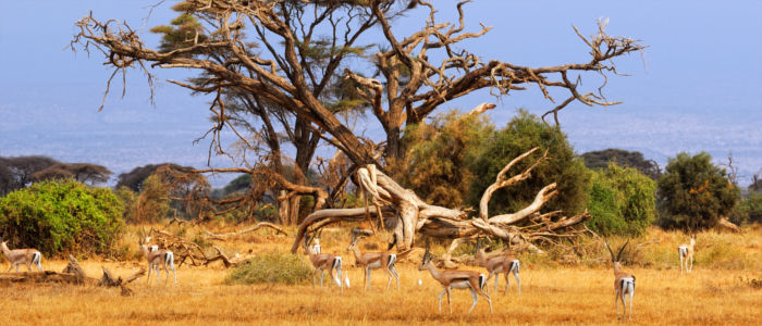 Gazelles in the wilderness of South Africa
