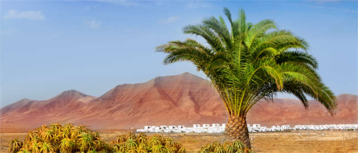 Typical mountainous and volcanic landscape with palms - Lanzarote