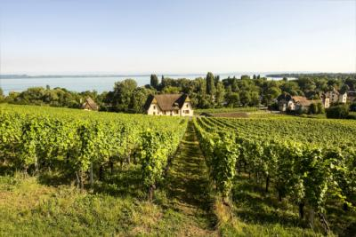 Vineyard in the Canton of Neuchâtel