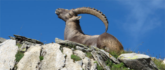 An ibex sunbathing in the Alps