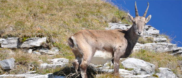 Ibex in the Swiss Alps