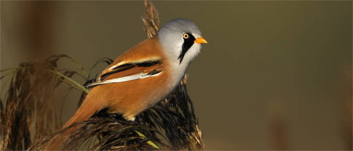 The bearded reedling - a water bird