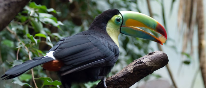 A toucan in the Zoo in Zurich