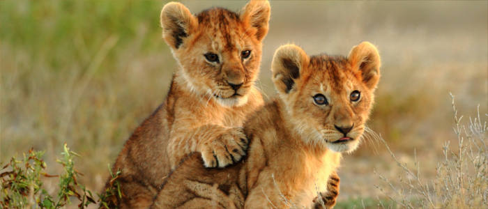 Young lions in Tanzania