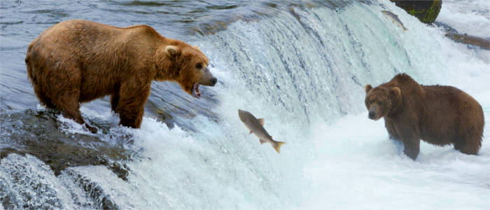 Brown bears and salmon in Alaska