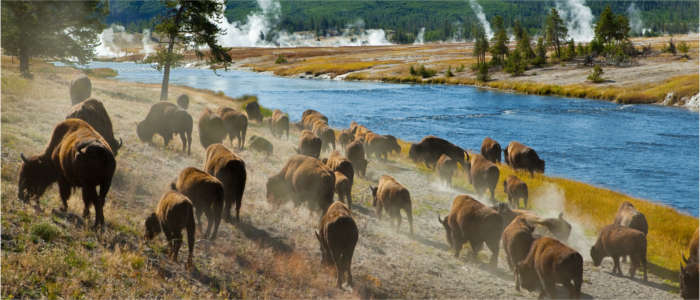 Herd of bisons in the Yellowstone National Park